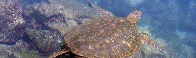 Ecuador - Schildkröte bei den Galapagos Inseln