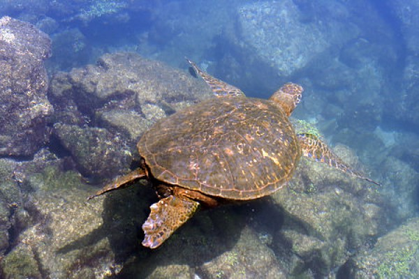 Schildkröte bei den Galapagos Inseln