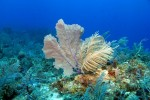 Soft Coral und Seefarn, Cayman Islands