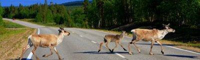 Finnland - Rentierfamilie, Lapland