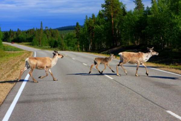 Rentierfamilie, Lapland