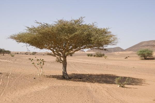 Akazie in der Bayuda-Wüste, Sudan