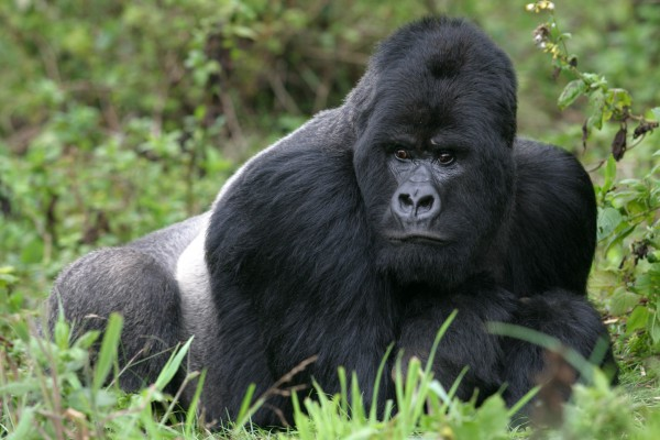Gorilla Silberrücken, Ruanda