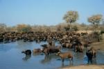 Büffel am Wasserloch
