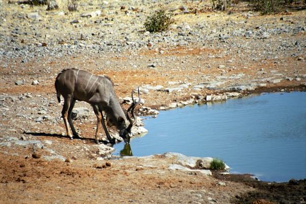 Grosser Kudu im Etosha Nationalpark, Namibia