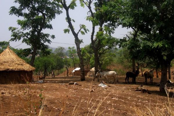 Traditionelle Hütte mit Vieh, Nigeria