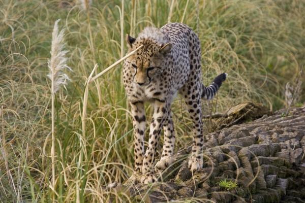 Gepard in Zentralafrika