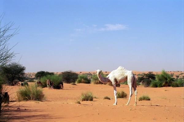 Weisses Kamel, Mauretanien