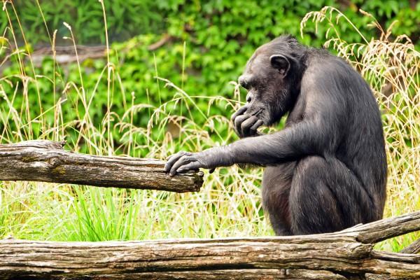 Schimpanse, Elfenbeinküste