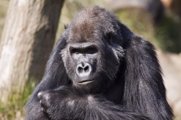 Gorilla in Afrika