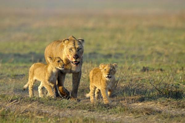 Löwin mit ihrem Nachwuchs auf der Jagd, Sambia
