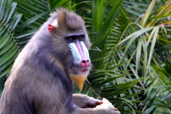 Mandrill in Westafrika
