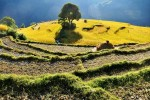 Reisfeld Terrasse bei Ghandruk, Nepal