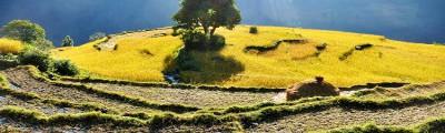 Süden - Reisfeld Terrasse bei Ghandruk, Nepal