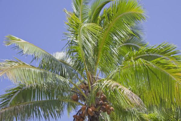 Kokosnusspalme, Polynesische Inseln