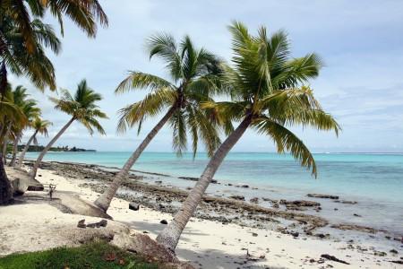 Palmen auf Savaii, Samoa, Polynesien