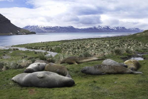 See-Elefanten in Grytviken, Südgeorgien